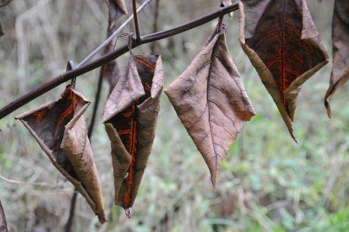didelis kinų pavasario žolė,lapai,šaltis,ruduo,žiema,rudens nuotaika,skilimas,nudrus,nudrus