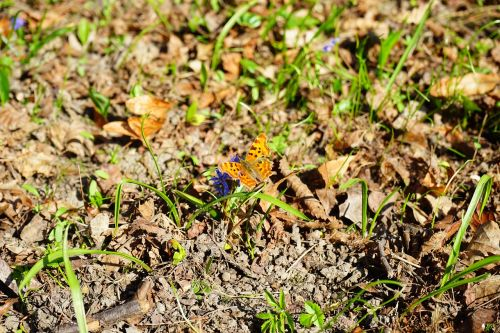 didžioji lapė,drugelis,nymphalis polichloras,drugeliai,edelfalter,nymphalidae