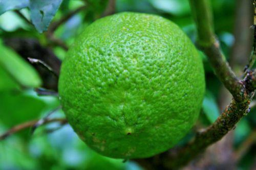 vaisiai, citrusiniai, citrina, žalias, apčiuopiamas, didelis žalias citrinas