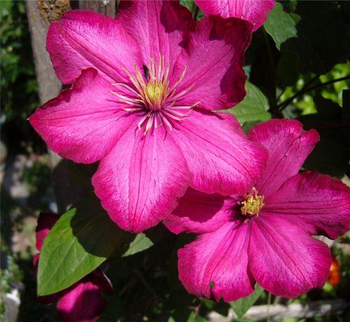 gėlės, rožinis, Clematis, pergalė, sodas, geltonieji & nbsp, centrai, gyvas & nbsp, rožinis, didelis rožinis šikšnosparnis