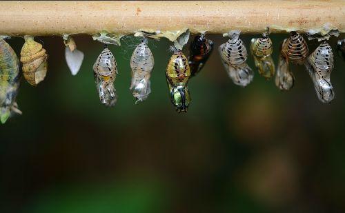 lervos,Eklūzija,kokonai,lerva,vabzdžių lervos,makro,gamta,parides iphidamas,drugelis,papilionidae