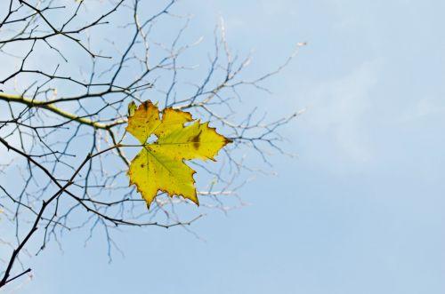 paskutinis, geltona, lapai, filialas, filialai, medis, gamta, makro, fonas, mėlynas, dangus, saulėlydis, tapetai, vienas, vienas, ruduo, sezonai, uždaryti & nbsp, išsamiai, spalva, paskutinis geltonas lapas