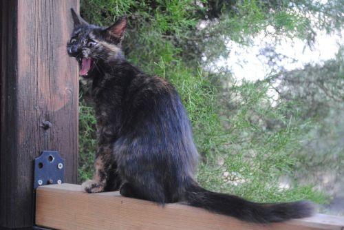 juokiantis kačiukas, juokiasi katė, žąsinantis katinas, vykdymas, kačiukas, katė, mielas, juokiasi, linksma, naminis gyvūnėlis, kačių, kačiukas, gyvūnas, žavinga, lauko kačiukas, pussy