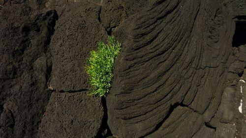 lava,augalas,vulkaninis uolas,lava rock