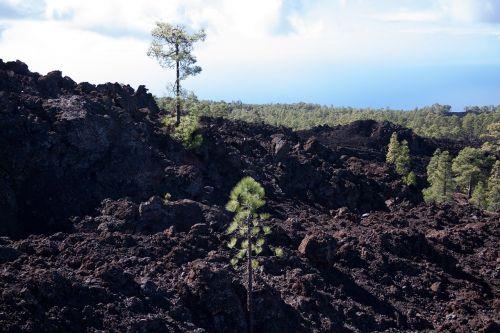 lava,lava rock,lavos laukai,rieduliai,mėnulio kraštovaizdis,Tenerifė,teide,Nacionalinis parkas,lavos srautas,Karg,šaltas,Trist,bazaltas,tamsi,juoda,ruda,pušis,canary kiefer,pinus canariensis,kontrastas,mirtis,gyventi
