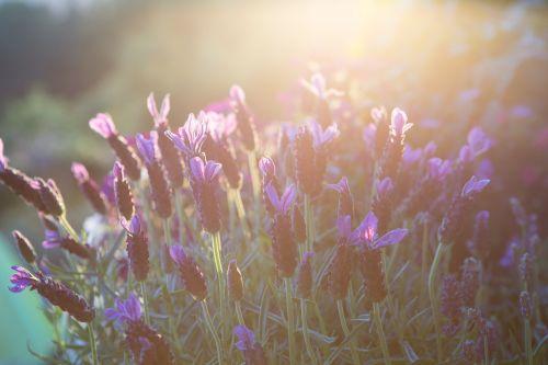 levanda,vasara,nuotaika,vakarinė šviesa,gėlės,gamta,saulė,violetinė,atgal šviesa,šviesa