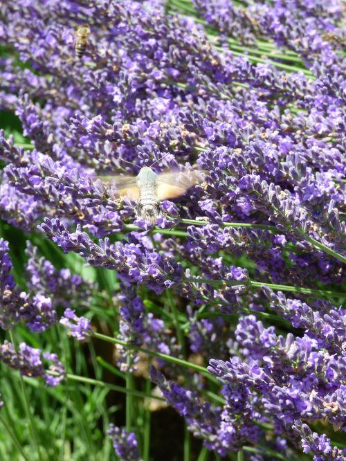 levanda,bitės ir pelėdos,vabzdys,hum