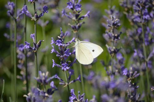 levanda,drugelis,žiedas,žydėti,gėlė,gamta,vasara