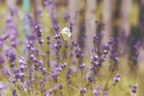 levanda,gėlė,sodas,laukas,ūkis,lauke,gamta,drugelis,vabzdys