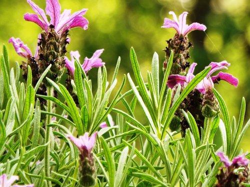 levandų, vasara, balkonas, violetinė, žalias, gardus, levandų žiedų, pobūdį, Violetinė, Sodas, augalų, Iš arti, gėlės, floros, gėlė violetinė