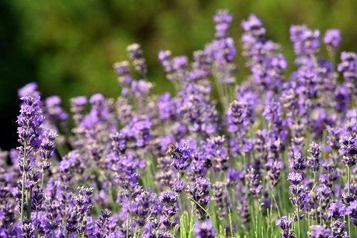 levandų, gėlės, pobūdį, violetinė, Violetinė, augalų, Sodas, žydi, levandų žiedų, Iš arti, bičių, vabzdys, pabarstyti, gražus, aromatas, kvapas, levandų aromatas, levandų laukas