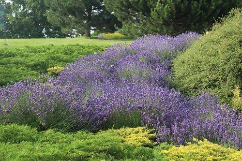 levandų, vasara, gėlės, violetinė, pobūdį, aromatas, Sodas, gėlė, žalias, aromatinis, floros, meadow, vabzdys, augalų, aromatas, drugelis, dekoratyvinis