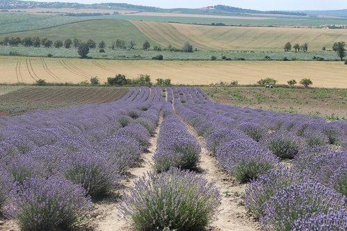levandų, vasara, pobūdį, violetinė, gėlės, Sodas, aromatas, gėlė, žalias, meadow, vabzdys, augalų, drugelis, žolės, aromatas, levandų ūkis