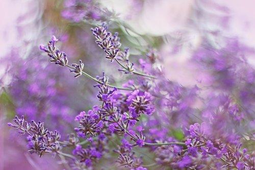 levandų, violetinė, augalų, gėlės, pobūdį, vasara, Sodas, Violetinė, žydi, laukas, aromatas, mėlyna, sveiki, aromaterapija, aromatas, floros, šviežias