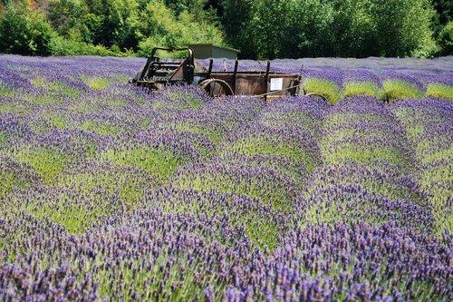 levandų, ūkis, violetinė, augalų, pobūdį, gėlės, aromatas, aromatas, auginimas, derlius, Violetinė, vasara, gardus