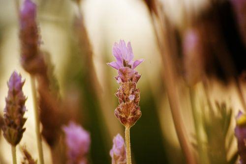 levanda,gėlė,makro,sodas,vasara,violetinė,pavasaris,laukas,gamta,prairie,gėlės,atspalvių,žydėjimas