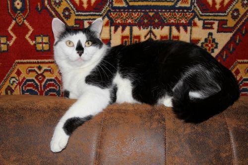 katė, veidas, portretas, naminis gyvūnėlis, vidaus, kačių, mielas, akys, tabby, viešasis & nbsp, domenas, fonas, tapetai, galva, uždaryti & nbsp, žiūri, sofa, kačiukas, pūkuotas, patalpose, ūsai, atsipalaiduoti, tingus, poilsio, profilis, kačiukas, tingus katytės katinas