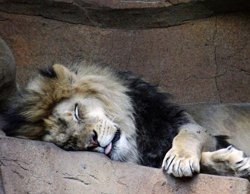 liūtas, tingus, miega, karšta & nbsp, diena, pavasaris, gyvūnas, gamta, tingus liūtas