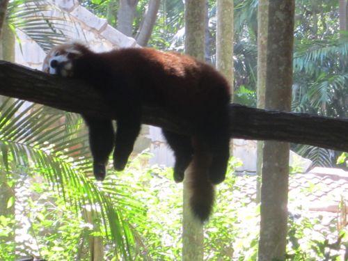 raudona & nbsp, panda, tingus, mieguistas, pavargęs, tingus raudonas pandas