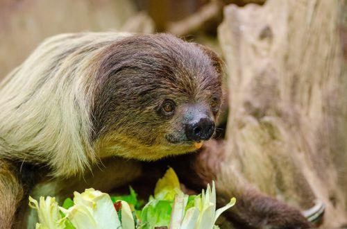 tingus unaus,valgymas,zoologijos sodas,Choloepas,žinduolis,šeima megalonychidae,salotos,maistas,augalai,tingus didaktylis,bradypodidé,ilgi plaukai,labai lėtas gyvūnas,laukinis gyvūnas,kraštovaizdis,gyvūnai,fauna,tapetai,fonas