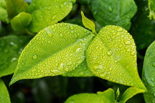 lapai,žalias,lapija,žali lapai,žalias lapas,gamta,augalas,pavasaris,medis,botanika,ekologija,vasara,sodas,vandens lašas,lietus,šlapias,drėgmė,sodininkystė,aplinka,eco,vasaros fone,darbalaukio tapetai,sezonas,gamtos fonas,žalia fone,pavasario fonas,gamtos abstraktumas