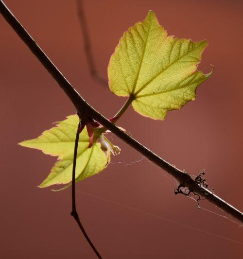 lapai,šviesa,gamta,saulė,žalias,vyno lapai