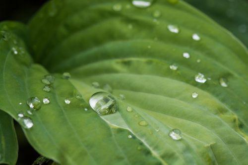 lapai,žalias,lašas vandens,liūtys,žalias lapas,Uždaryti,makro,gamta