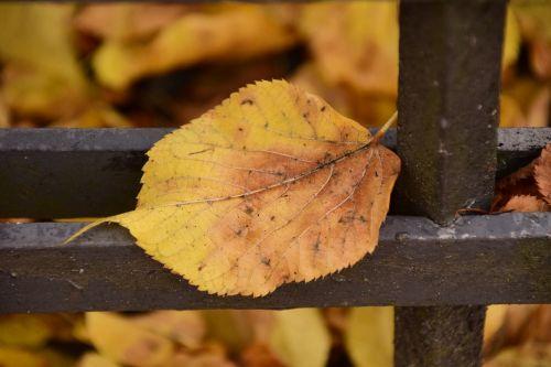 lapai,ruduo,lapas rudenį,trumpalaikis laikotarpis,metalas,lapai ant metalo,rudens lapas,lapai,kritimo lapija,geltona,geltonas lapas,Uždaryti,gražus