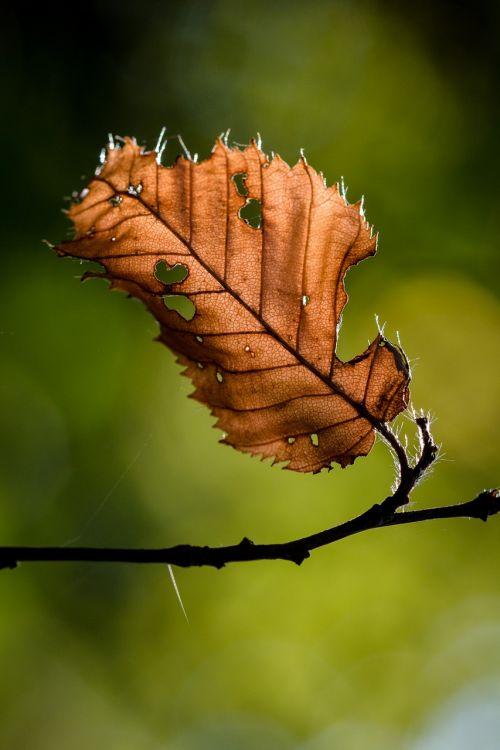 lapai,ruduo,lapai,kritimo lapija,aukso ruduo,gamta,miškas,spalvos pasikeitimas,trumpalaikis laikotarpis,kritimo spalva