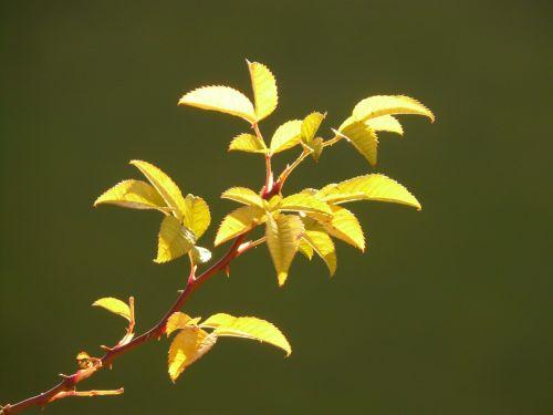 lapai,augalas,atgal šviesa,rožinė hip erškėtis,erškėčių