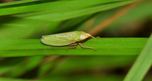 lapų surinktuvas,vabzdys,žalias vabzdys,mažas vabzdys,mažas,vabzdžiai,žolė,žalias,sparnuotas vabzdys,skraidantis vabzdys,padaras,gyvūnas,gamta,laukinė gamta,fauna,biologija,entomologija,nariuotakojų,draeculacephala sp