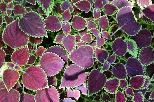 lapo tekstūra,tekstūra,lapai,maroon leafs,sodas,peradeniya,Šri Lanka,ceilonas,Mawanella