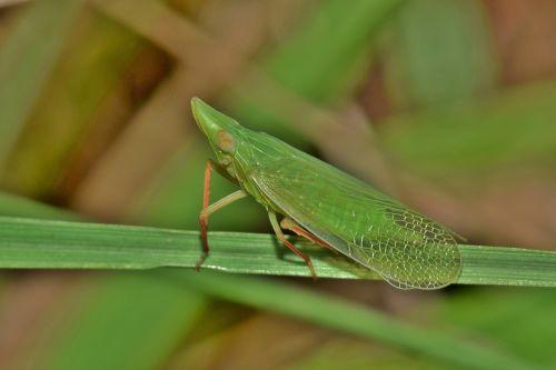 lapkotukas,Planthopper,vabzdys,žalias vabzdys,mažas vabzdys,mažas,vabzdžiai,žolė,žalias,sparnuotas vabzdys,skraidantis vabzdys,padaras,gyvūnas,gamta,laukinė gamta,fauna,biologija,entomologija,nariuotakojų,dictyopharid planthopper,rhynchomitra lingula