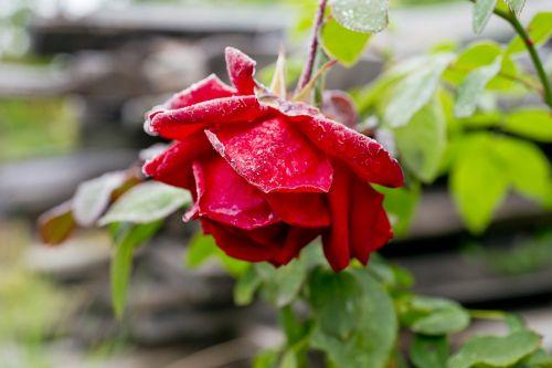 leann,gėlė,rožė,gamta,gražus,sodas,raudona,ruduo,fonas,žalias,rožinis,augalas,flora,grožis,žydėti,Iš arti,žiedlapis,natūralus,šviesus,lapai,spalvinga,spalva,Siberija