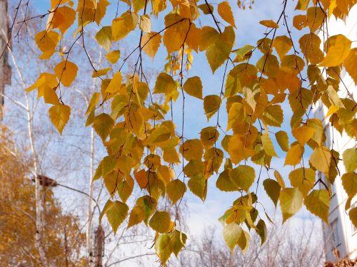 lapai,beržas,geltona,gamta,medis,miškas,medžiai,ruduo,filialas,aukso ruduo,saulėta diena,kraštovaizdis,dangus,rudens diena,diena,gražus