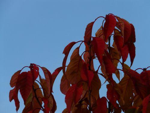lapai,raudona,dažymas,ruduo,japonų žydinčių vyšnių,prunus serrulata,rytietiška vyšninė,Rytų Azijos vyšnia,ornamentinis vyšnia,prunus