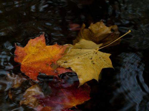 lapai,ruduo,geltonieji lapai,klevo lapas,klevo lapai,geltonas lapas,rudens lapai,vanduo