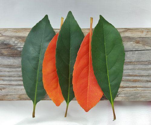 lapai,kritimas,kritimo spalvos,ruduo,kritimo lapai,spalvos,oranžinė,žalias,kontrastas,išdėstyti,išdėstymas,vertikalus,nesuderinta,priešingas,penki