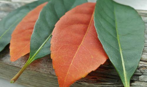 lapai,kritimas,kritimo spalvos,ruduo,kritimo lapai,spalvos,oranžinė,žalias,kontrastas,išdėstyti,išdėstymas,nesuderinta,priešingas,penki