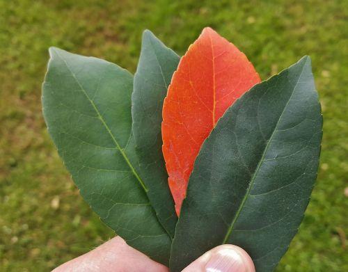 lapai,kritimas,kritimo spalvos,ruduo,kritimo lapai,ūkis,spalvos,oranžinė,žalias,kontrastas,išdėstyti,išdėstymas,išskirtinis,nesuderinta,keturi