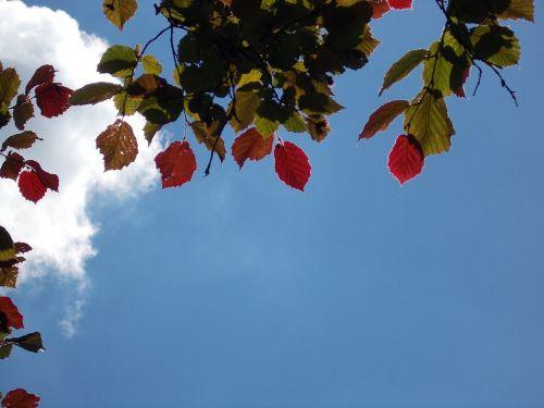 lapai,dažymas,graikiniai riešutai,dangus,mėlynas,lapų dažymas,lapija