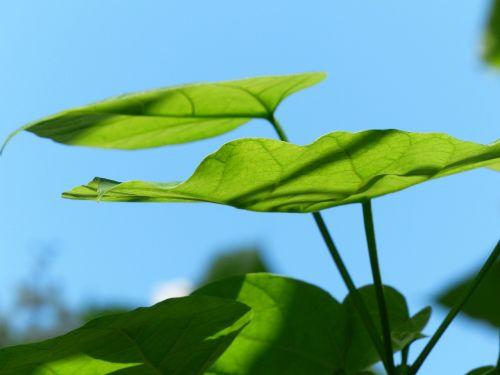 lapai,žalias,paprastoji catalpa,šviesiai žalia,catalpa bignonioides,medis,lapuočių medis,bignoniaceae augalai,bignoniaceae,ornamentinis medis,parko medis,gatvės medis,šiek tiek toksiškas