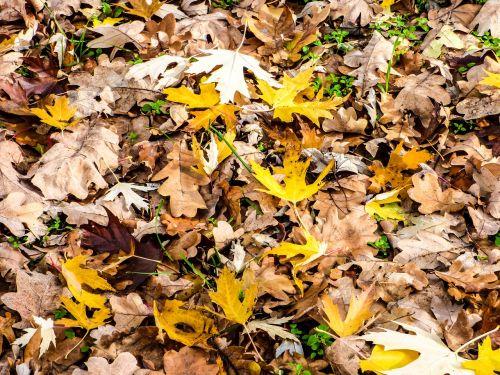 lapai,avar,ruduo,gamta,mediena,lapija,rudens nuotaika,rudens lapai,spalva,rudieji lapai,geltonieji lapai,dirvožemis,miškas,lapuočių,sezonai,spalvoti lapai