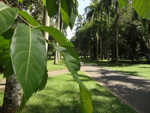 lapai,kelias,medžiai,Šri Lanka,peradeniya,ceilonas