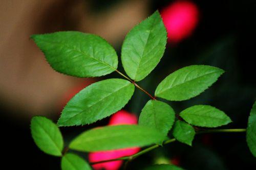 lapai, žalios spalvos & nbsp, lapai, rožė & nbsp, lapai, lapai, augalai, fonas, modelis, palieka & nbsp, fono, lapai 2