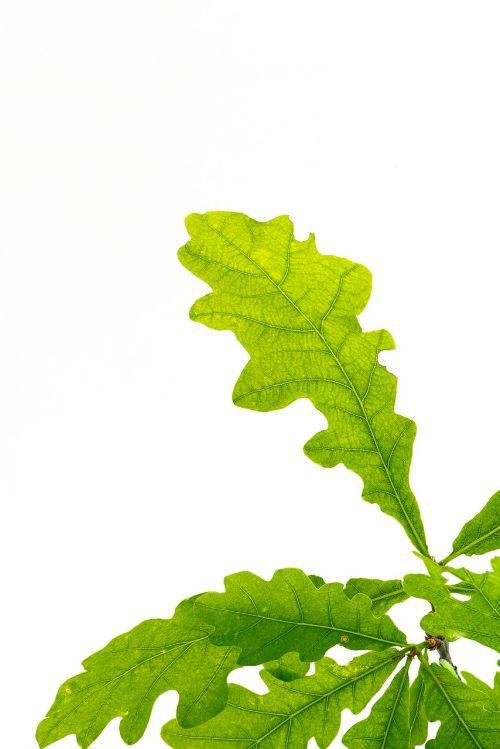 lapai,žalias,ąžuolo lapai,lapo struktūra,medžių lapai,lapų žarnos,buchengewaechs,Uždaryti,gamta,biologija,gamtos istorija,žali lapai,baltas fonas