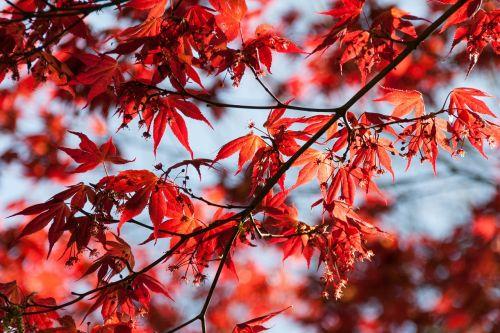 lapai,raudona,dangus,mėlynas,stiprus,lapai,gamta,kritimo spalva,atsiras,fono paveikslėlis,fonas,saulėtas,Uždaryti,klevas,ugnis raudona,blur,tiefenschärfe