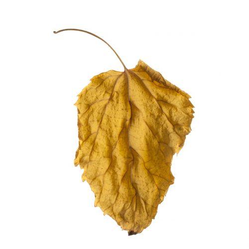 lapai,ruduo,sezonas,nudrusių lapų,lapai yra,sausas lapai,geltona,medis,makro,gamta,gražus,fonas,baltas fondas,studija,tapetai,tekstūra,išsamiai,augalas,sudžiūvęs,žiema