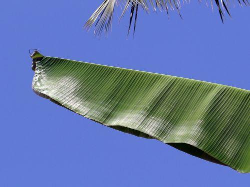 lapai,lapinės,bananas,augalai,medžiai,flora,atogrąžų,mėlynas,dangus,gamta,natūralus,vaizdingas,lapija,šviežias,vaismedis,sulankstytas,lankstymas,pusė,žalias,dangaus fonas