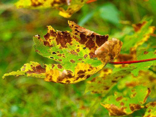 lapai,spalvos,kritimo spalvos,gamta,spalvos patenka,lapija,ryskios spalvos,klevas,spalvinga,medžiai,palieka rudenį,rudens lapai,šiltos spalvos